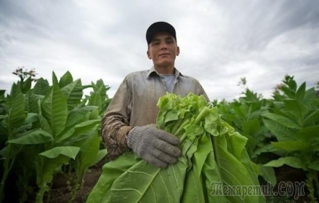 Как вырастить табак тонкости посева и ухода