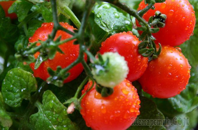 Чем полить помидоры для быстрого роста и образования завязи? Простое народное средство