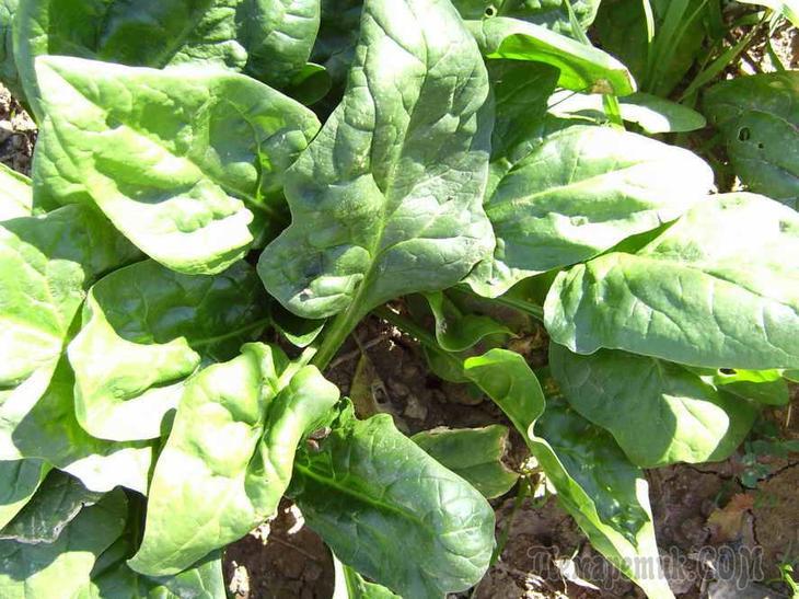 Когда сажать шпинат на рассаду в. Посадка шпината: основные способы и полезные советы. Укрытие в жару