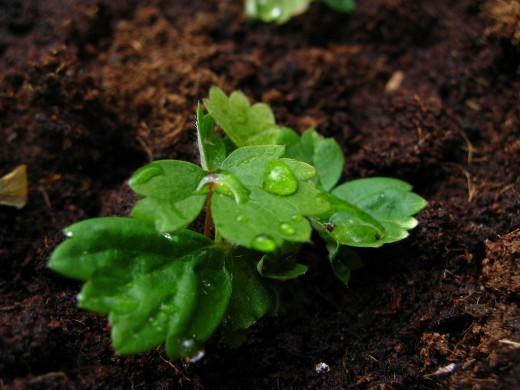 стратификация семян земляники ремонтантной