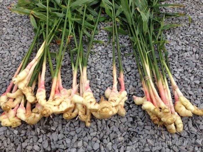 Как вырастить имбирь на огороде самостоятельное выращивание имбиря на огороде