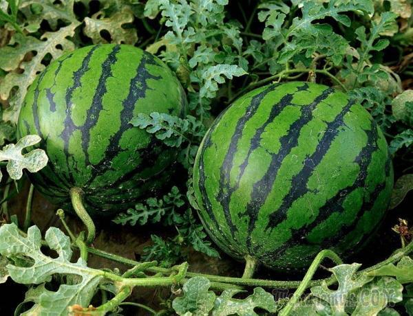 Как выращивать арбузы: технология выращивания арбузов из семян и рассады