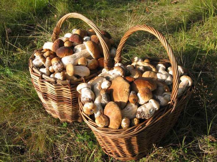 Как вырастить белые грибы на огороде
