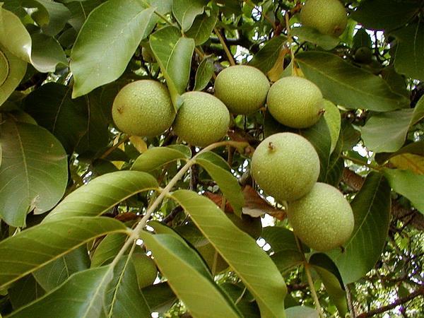 Грецкий орех в Подмосковье: уход, сорта, размножение. Как самостоятельно посадить фундук на даче Как выращивать орешник на даче