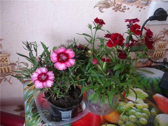 Выращивание гвоздики на подоконнике