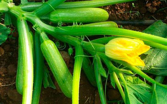 Какие корни у кабачка