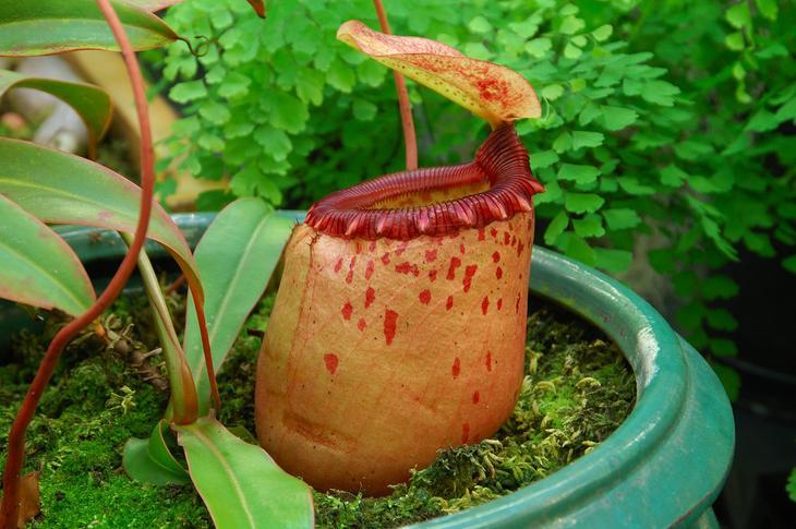 Самое крупное хищное растение  непентес раджа