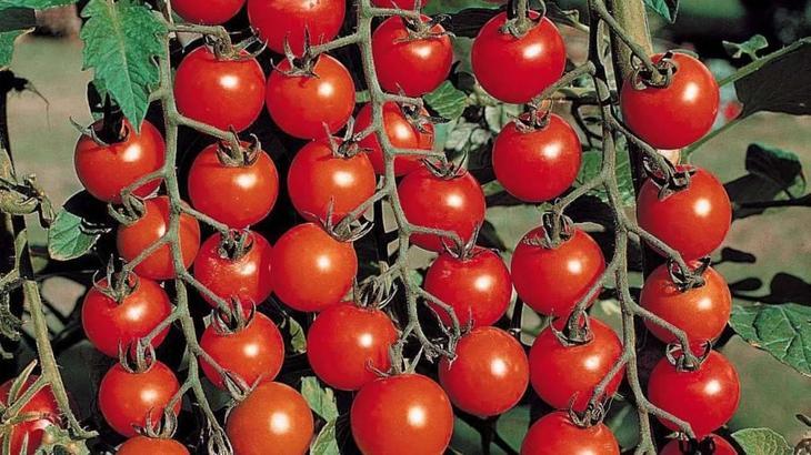 Сорта томатов, устойчивые к фитофторозу