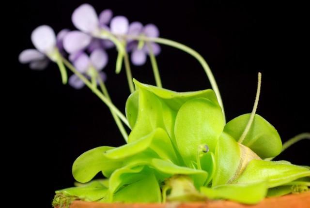 Жирянка обыкновенная - насекомоядное растение: описание